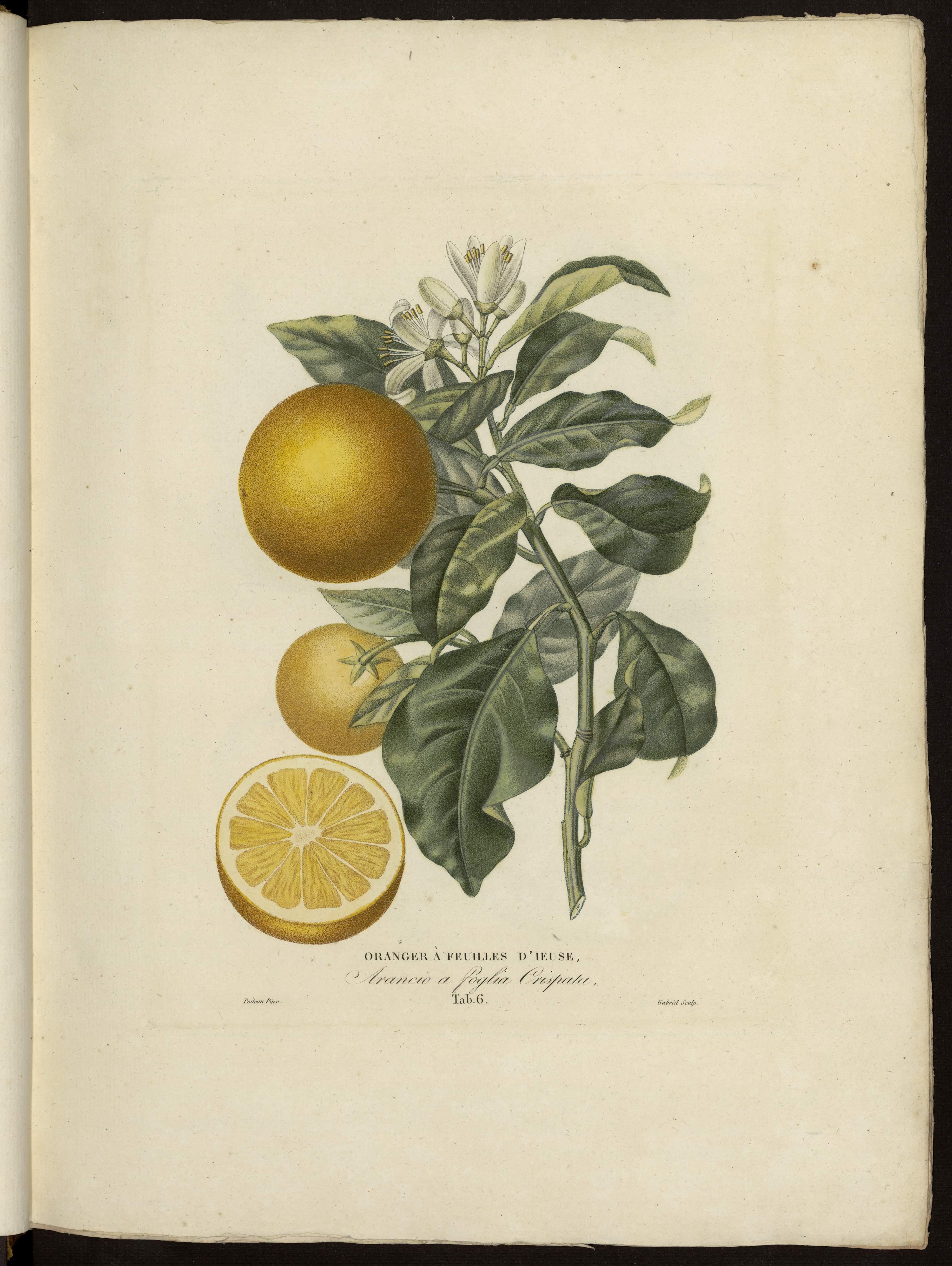 Oranger à feuilles d'Ieuse