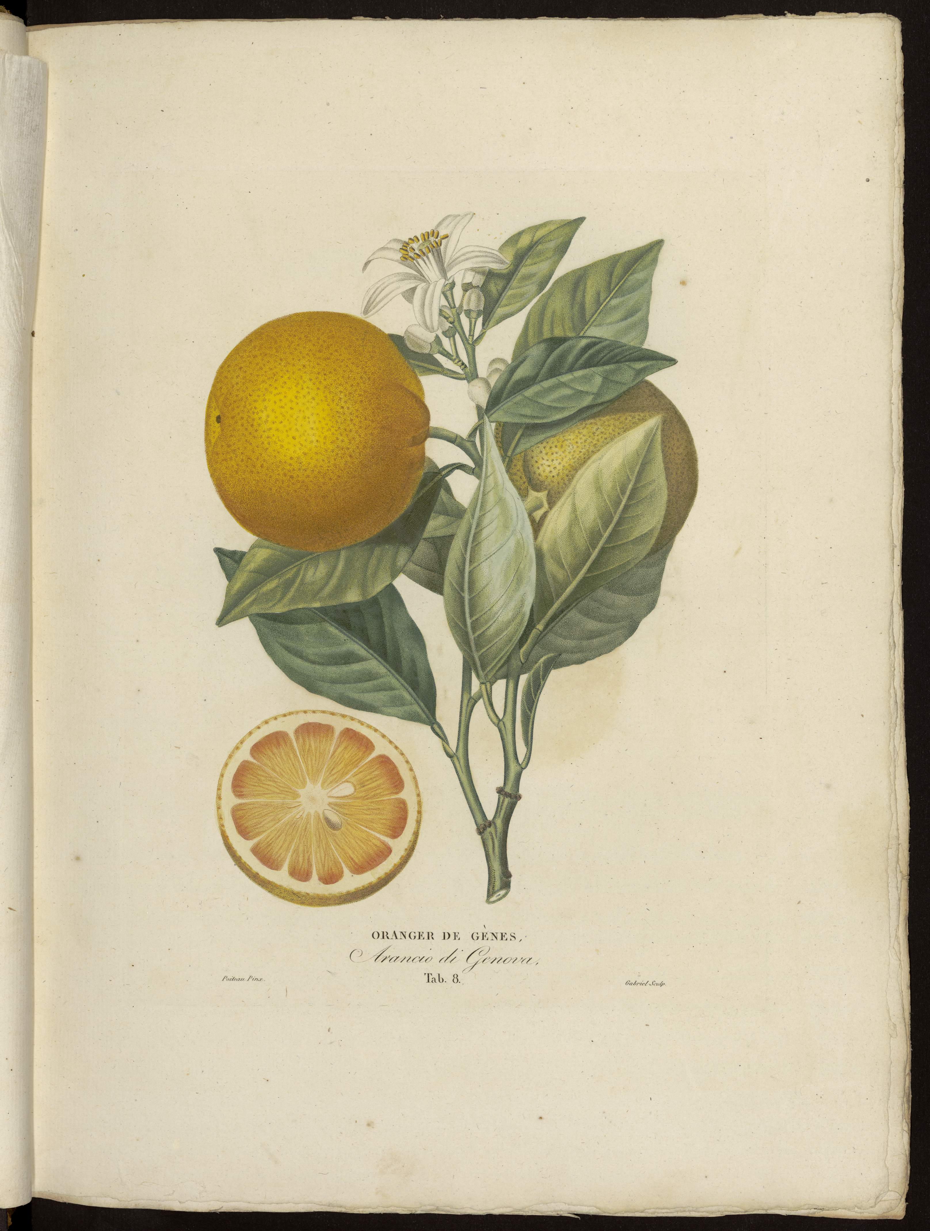 Oranger de Gènes
