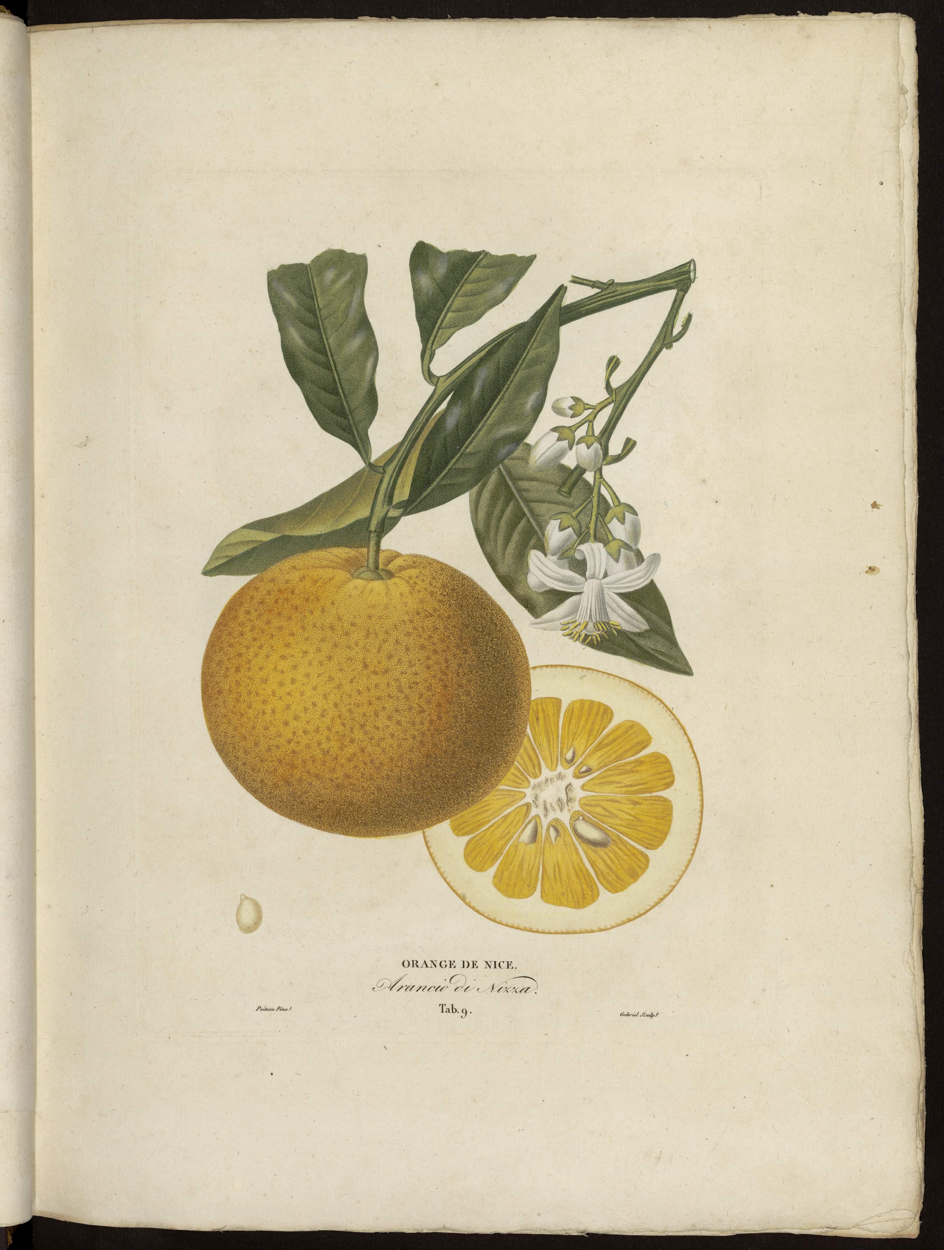 Orange de Nice