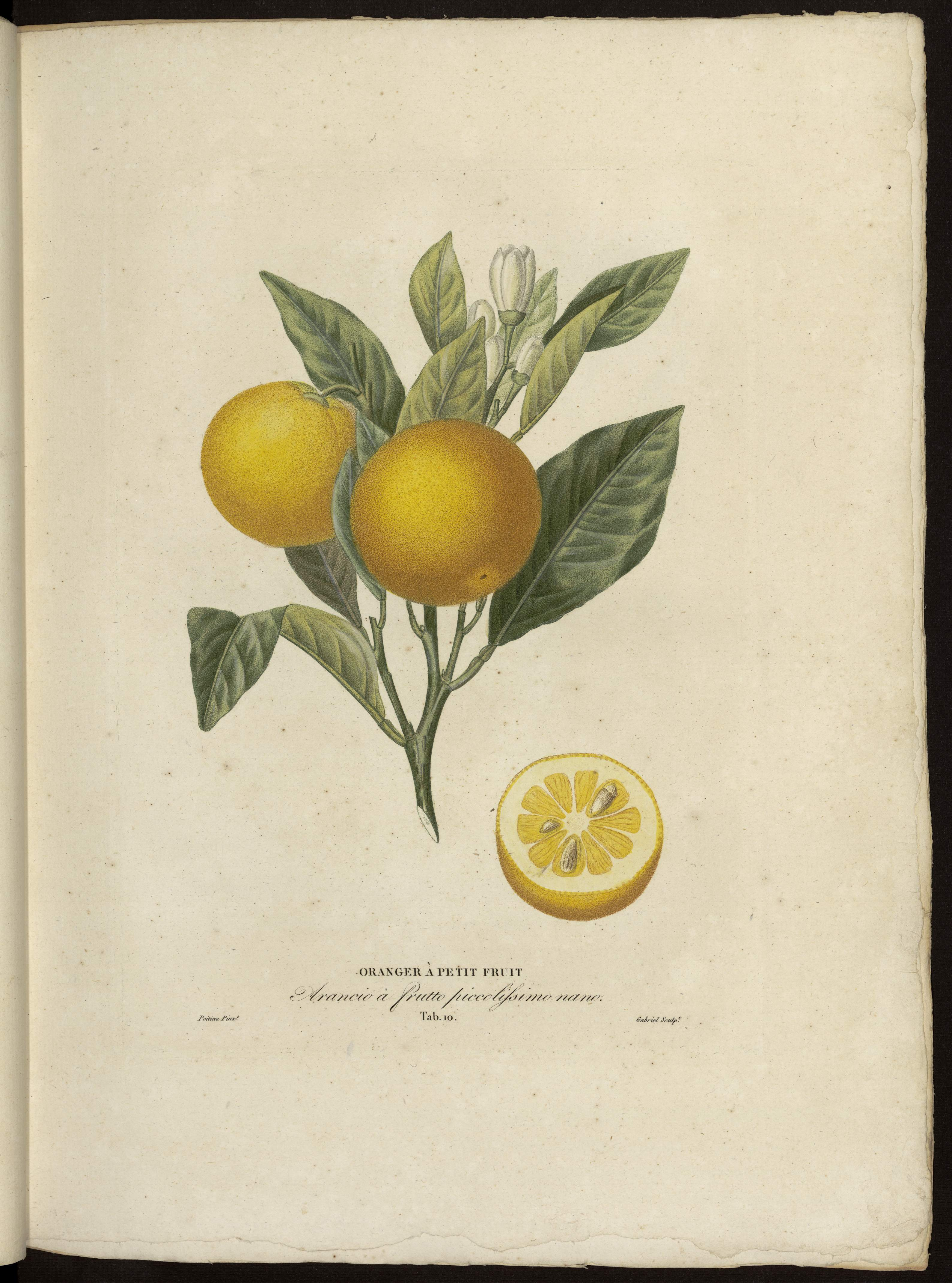 Oranger à petits fruits