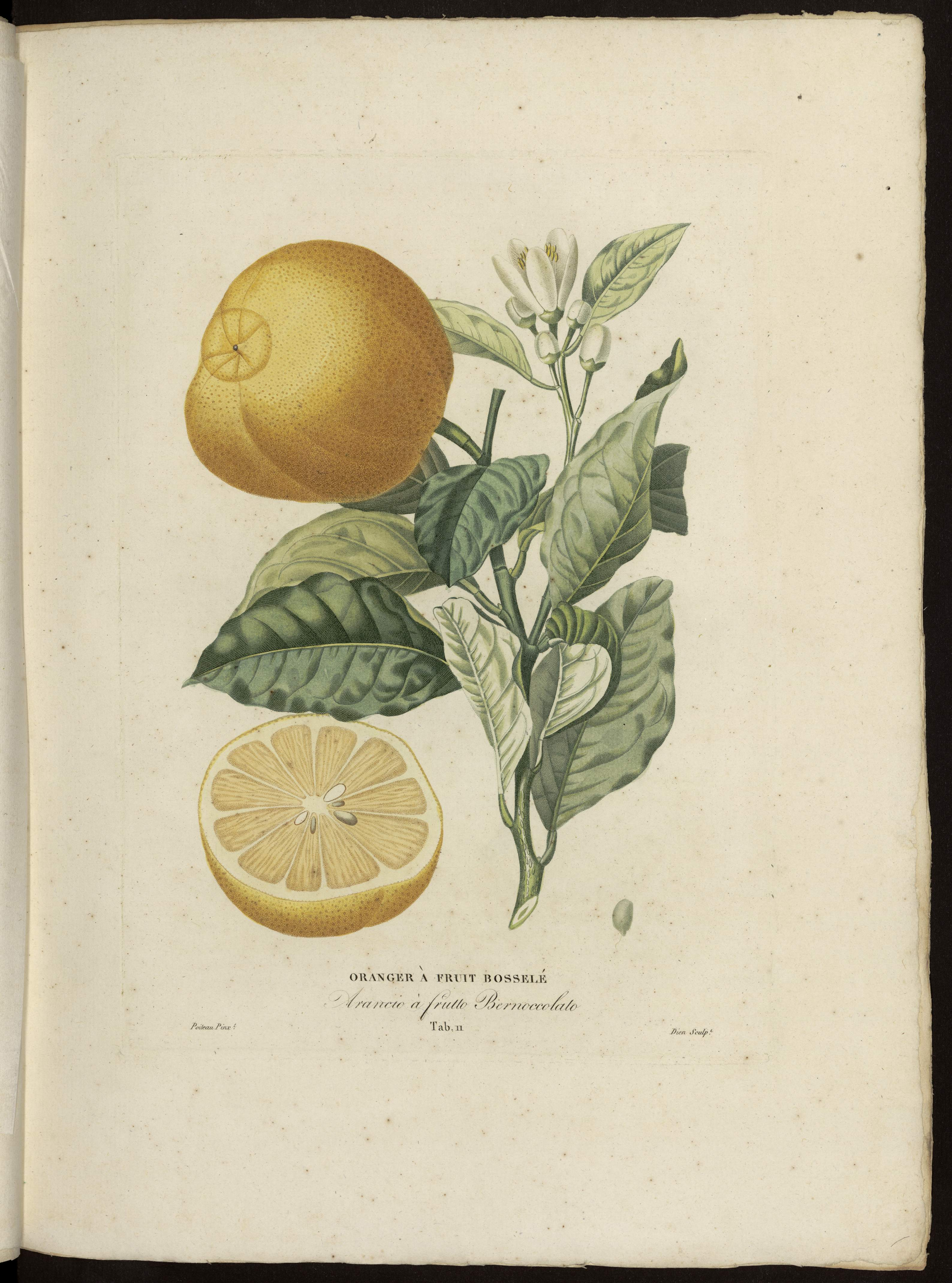 Oranger à fruit bosselé
