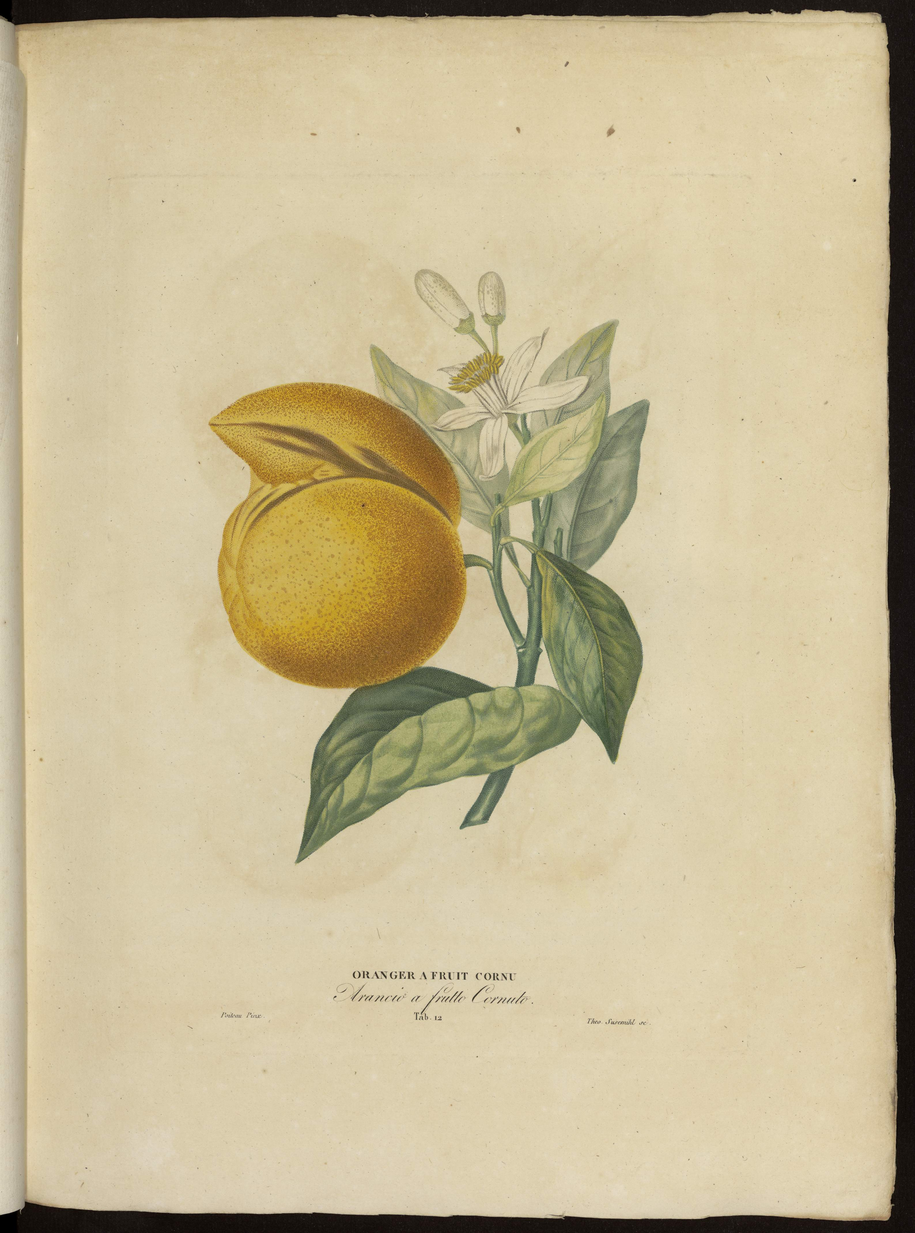 Oranger à fruit cornu