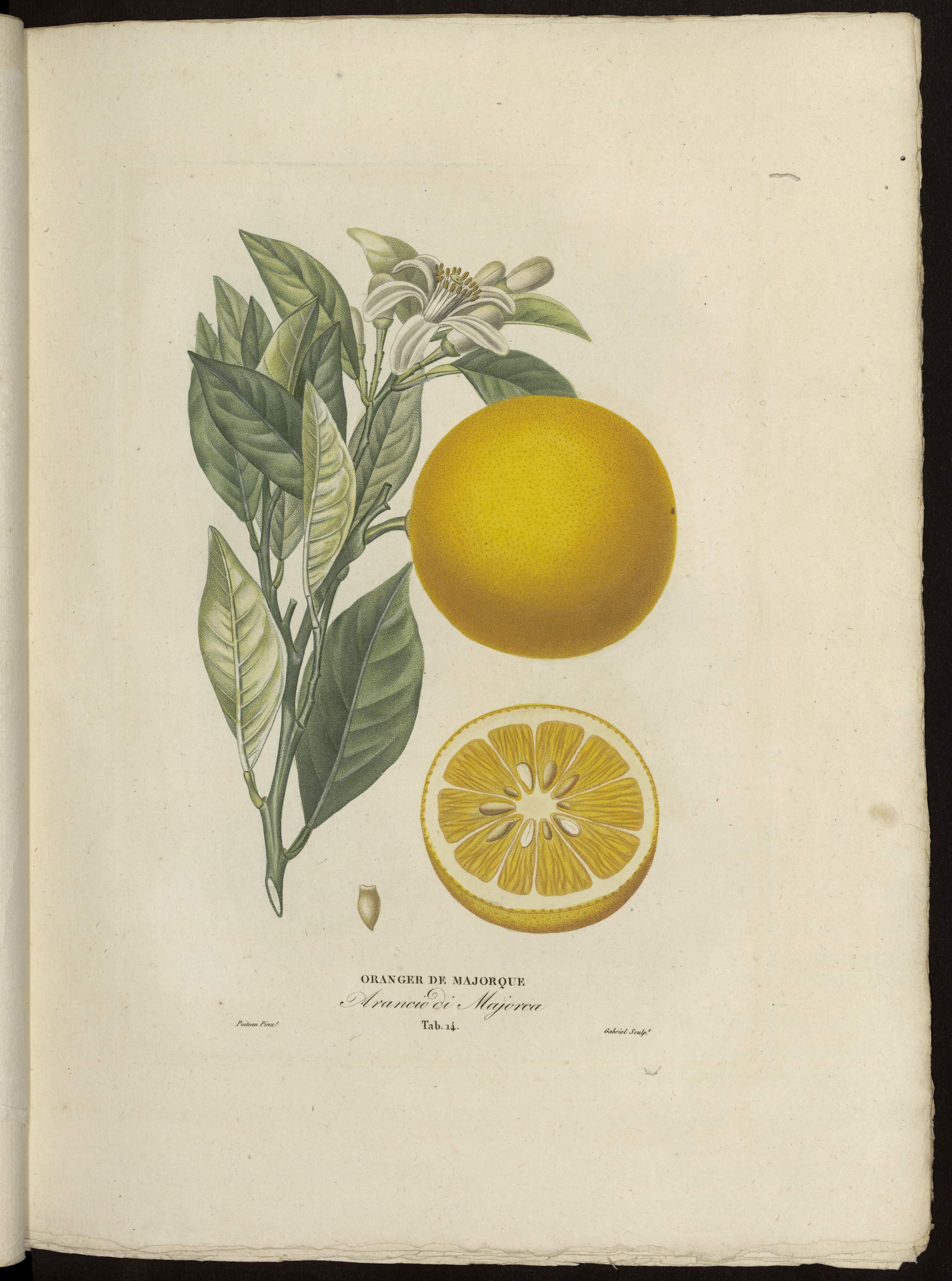 Oranger de Majorque
