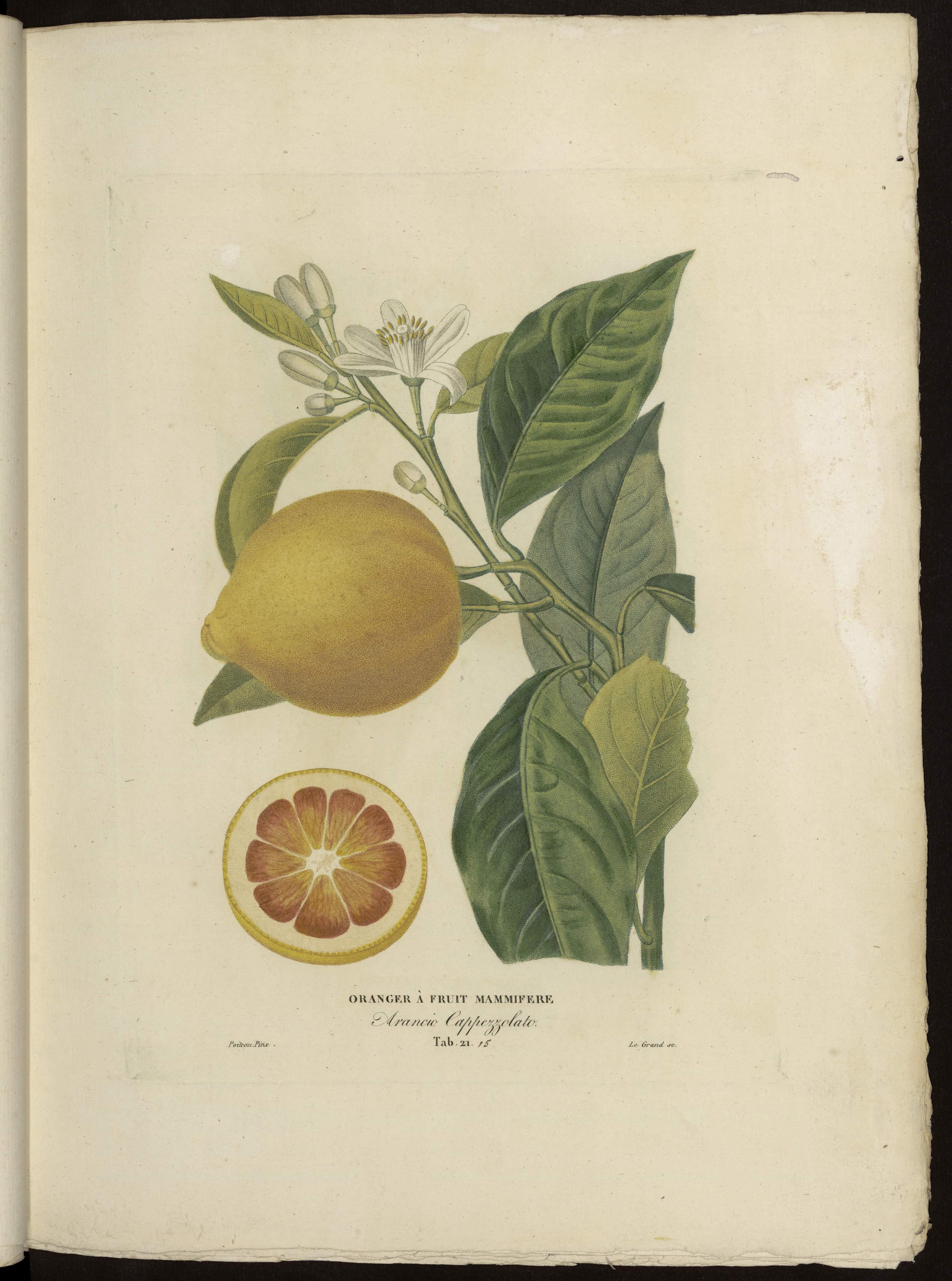Oranger à fruit mammifère