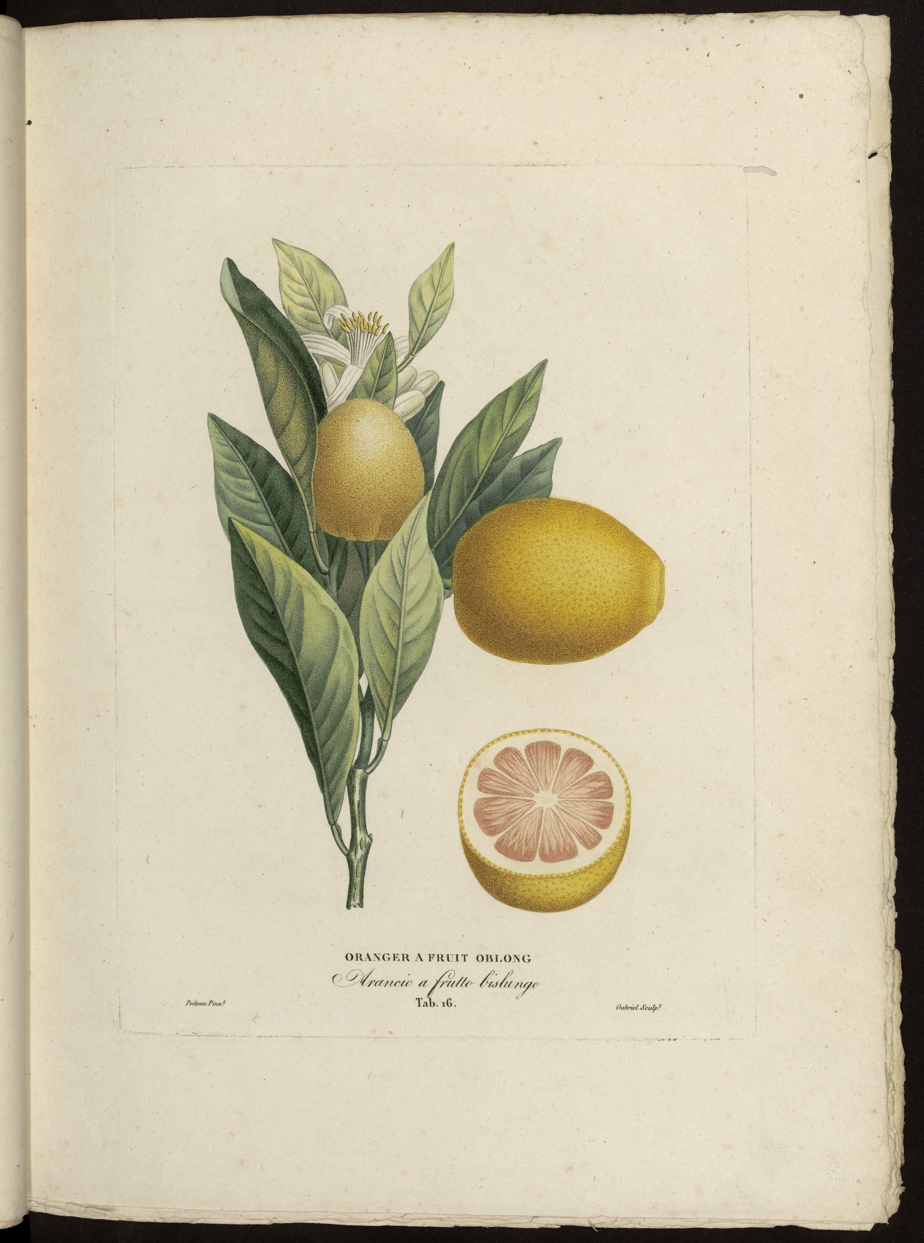 Oranger à fruit oblong