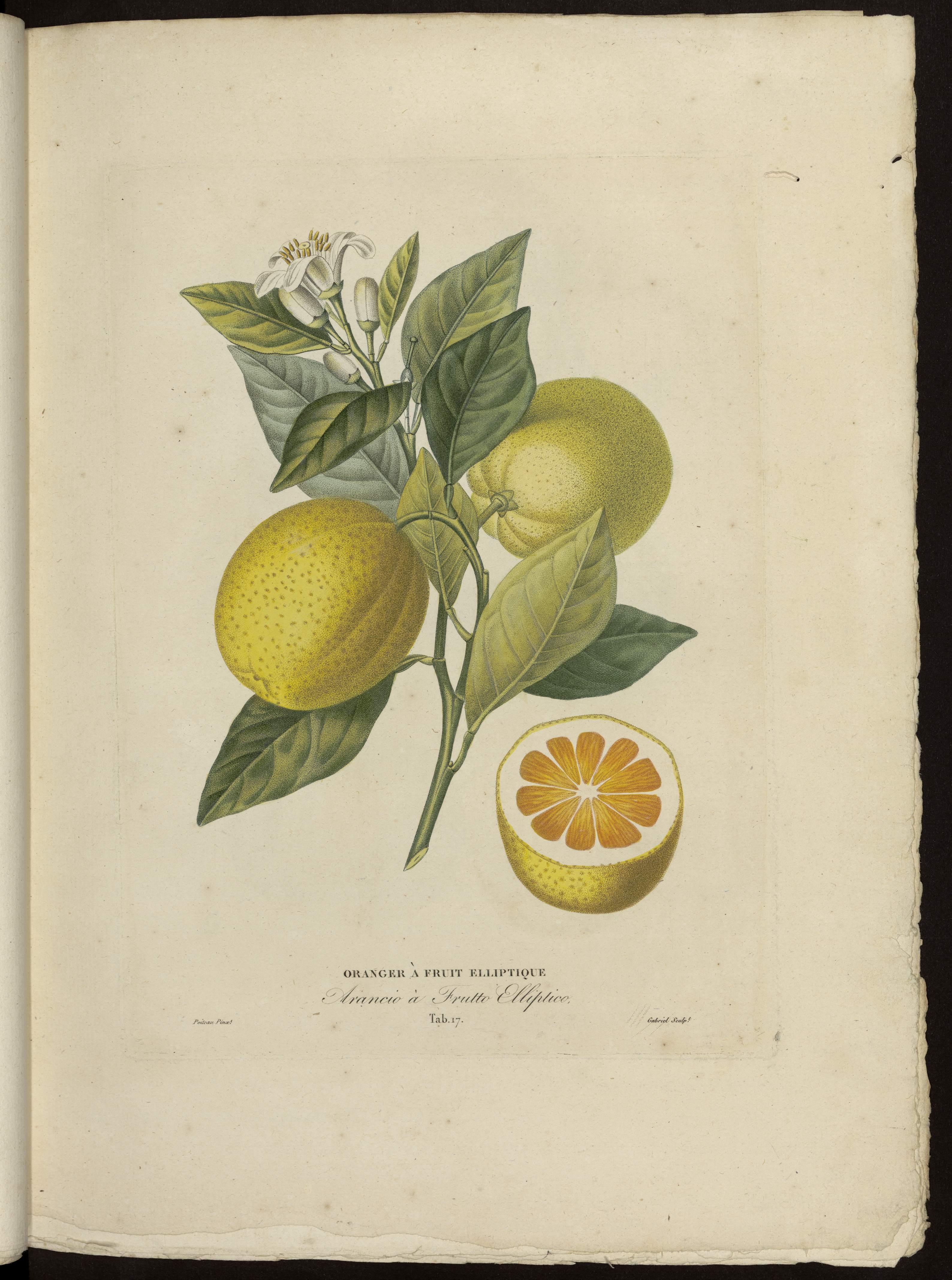 Oranger à fruit elliptique
