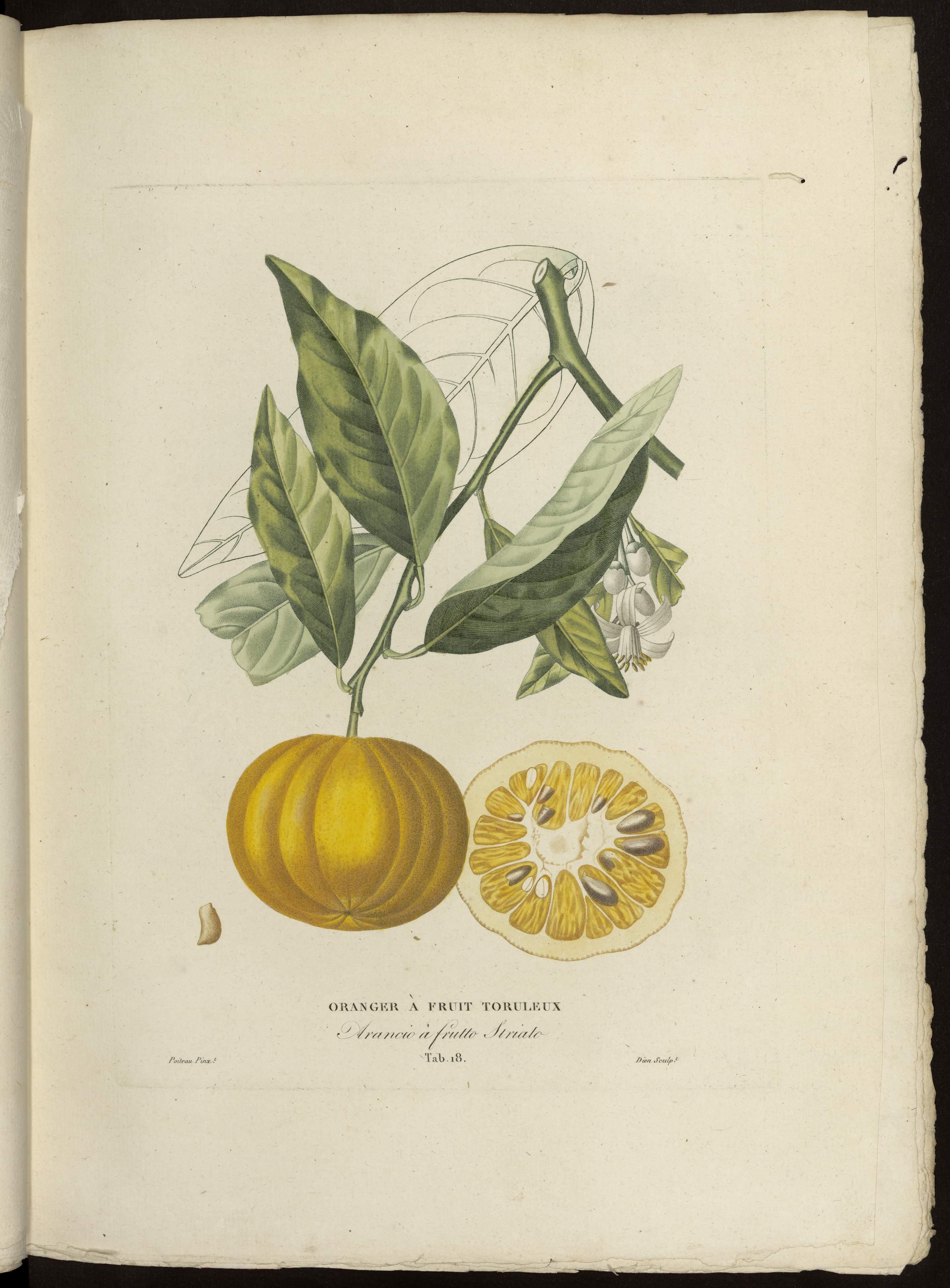 oranger à fruit toruleux