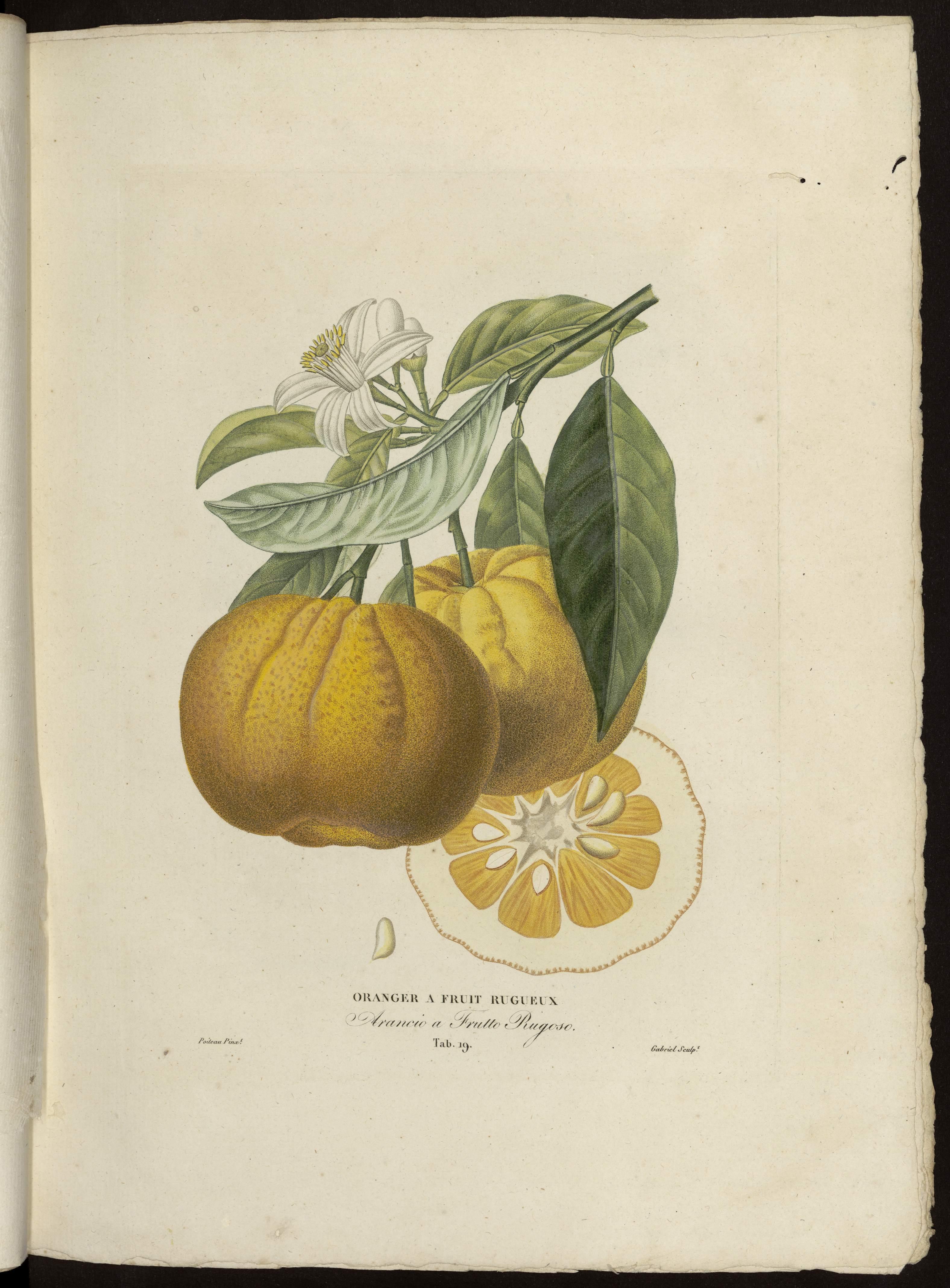 oranger à fruit rugueux