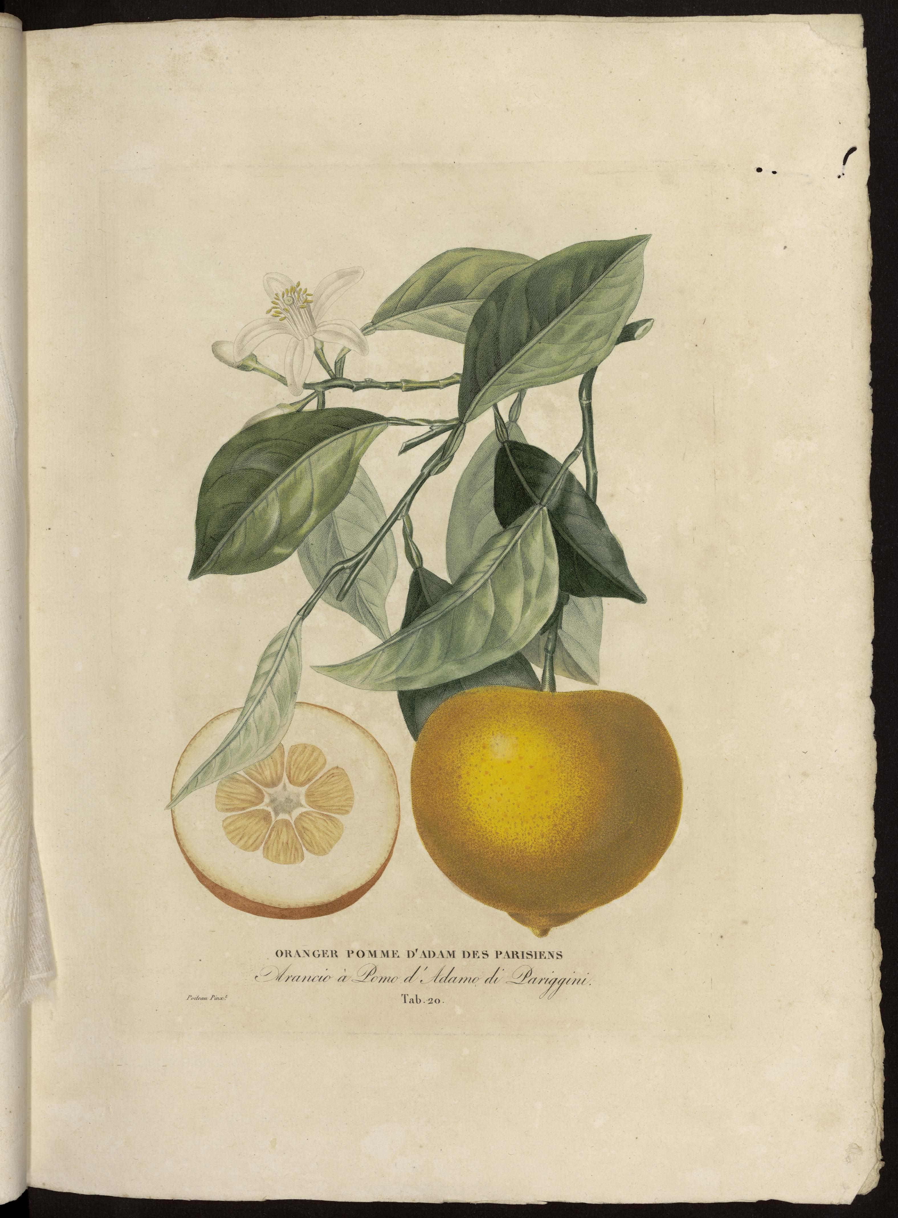 Oranger pomme d'Adam des Parisiens