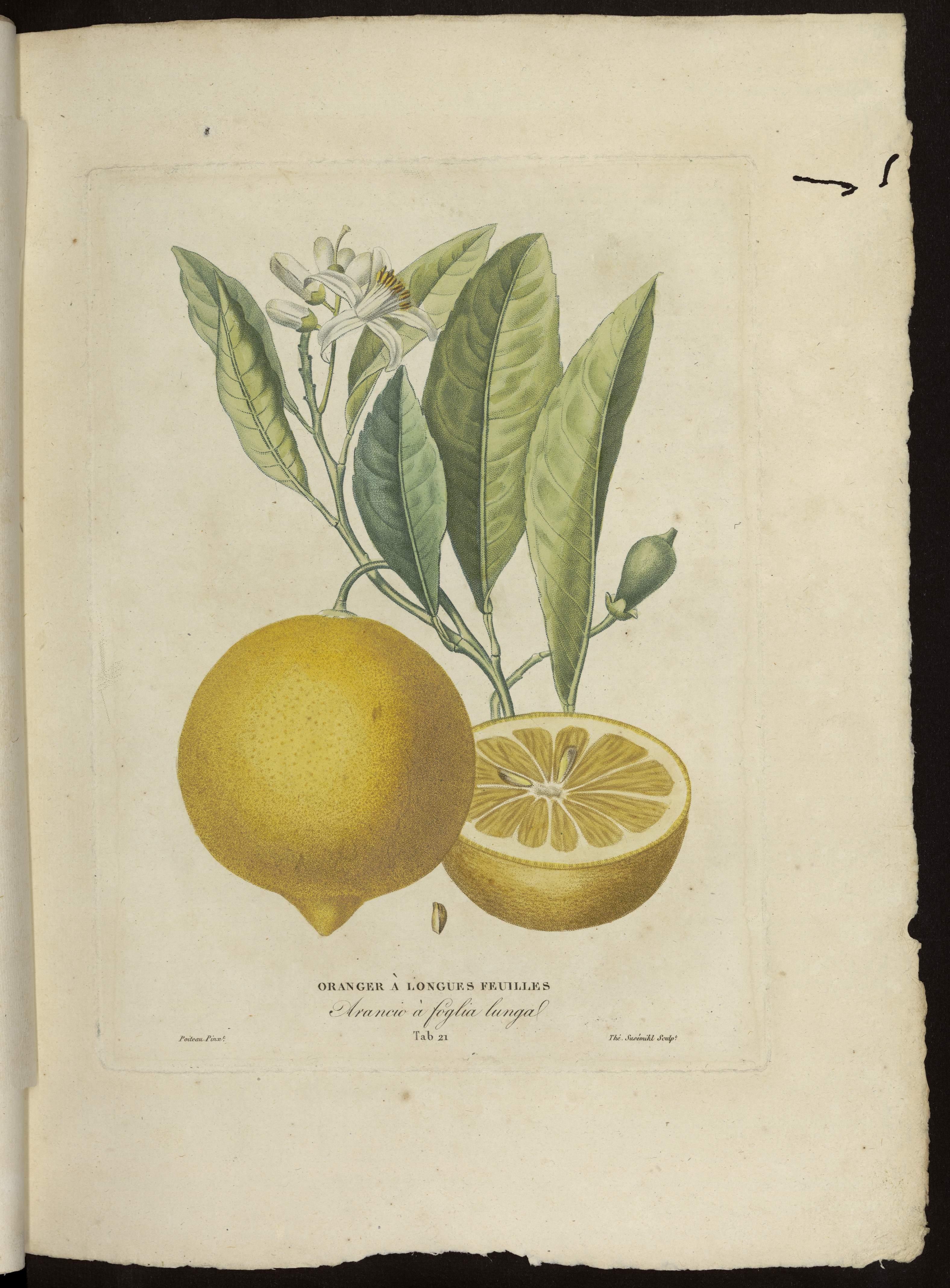 Oranger à longues feuilles