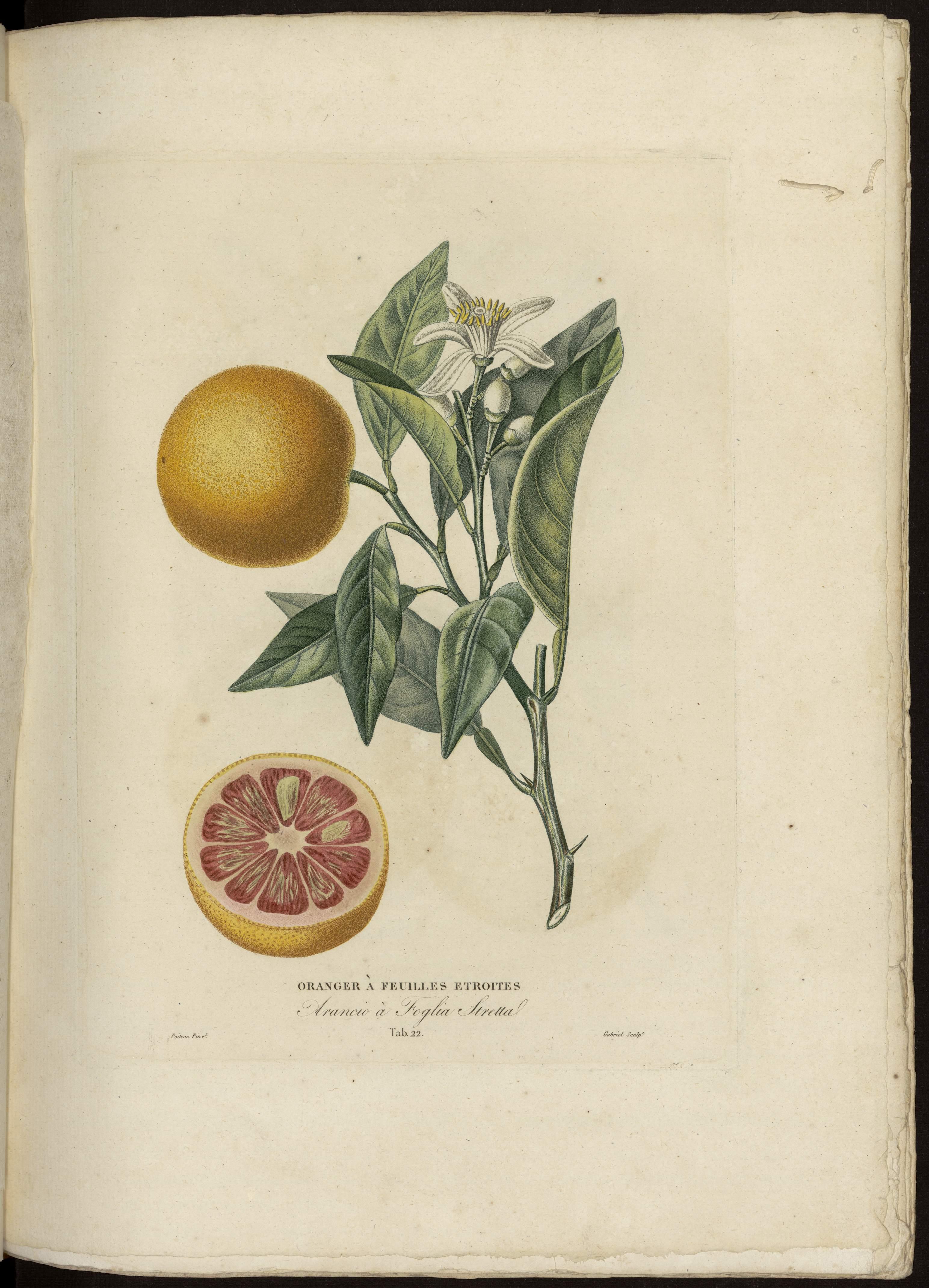 Oranger à feuilles étroites