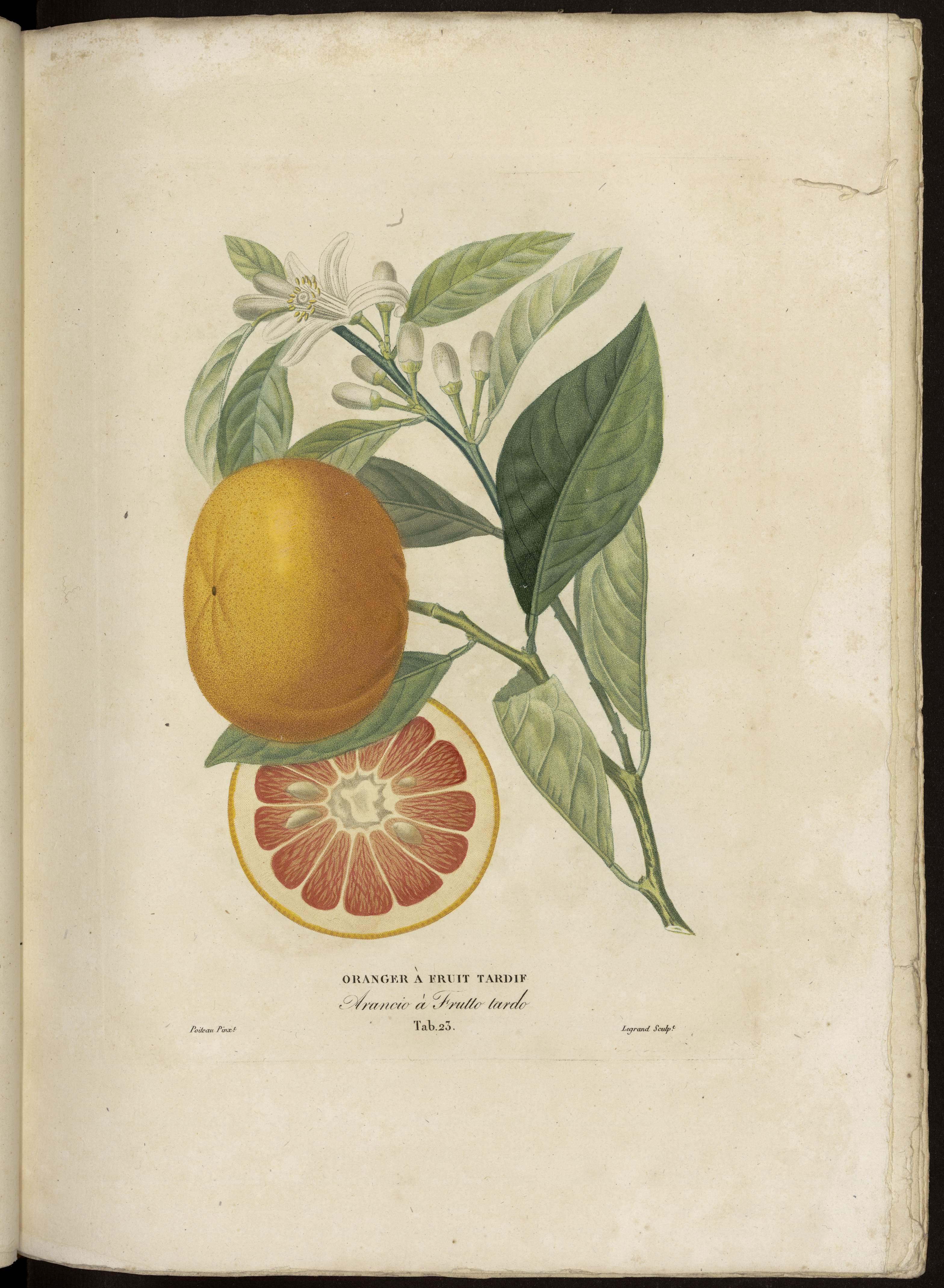 Oranger à fruit tardif
